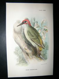 Allen 1890's Antique Bird Print. Green Woodpecker